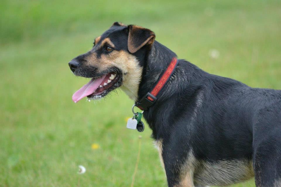 Angus the German Shepherd/Fox Terrier Cross