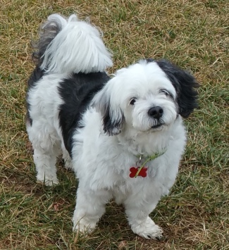 Benni - an inquisitive Terrier/Shih Tzu cross