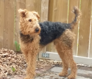 Bentley the Airedale