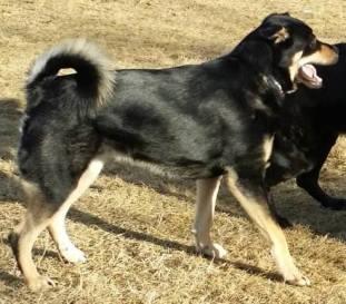 Bogart - a friendly and lively Rottweiler Husky mix