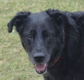 Caleigh - A gentle Black Lab mix