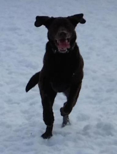 Charlie V...an energetic Chocolate Labrador who loves his ball
