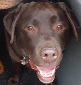 Charlie - a chocolate Labrador who likes everyone and everything...especially snow...!!