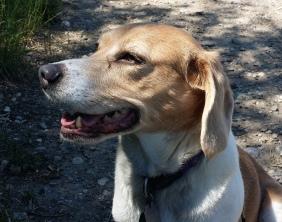 Chloe the Beagle Cross