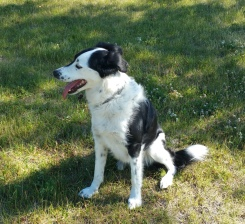 Dave - a handsome Border Collie Cross and Tui's biggest fan...