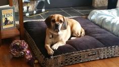 Dexter - Puggletastic!