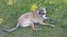 Emmy - a lively and lovely Mastiff Cross