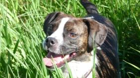 George the Boston Terrier/Beagle Cross.