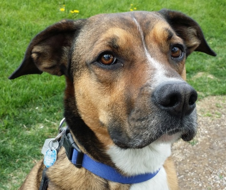 Jasper - a handsome Boxer/Border Collie cross
