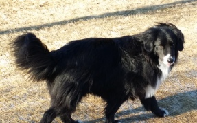 Lacy - A gentle Border Collie