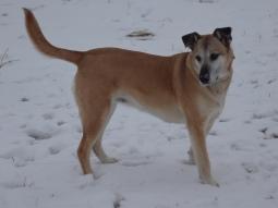 Lucy the Shepherd Retriever