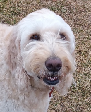 Monti - a gentle and loving Golden Doodle