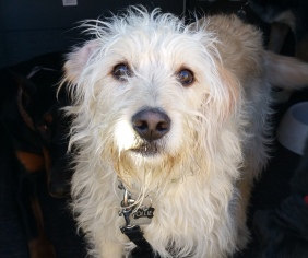 Ollie - a lively and friendly Labradoodle
