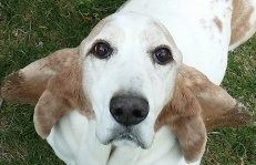 Pooch - a gentle and quirky Basset Hound...with some butterfly thrown in for good measure
