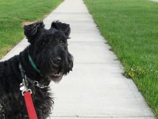 Shamus the Kerry Blue Terrier