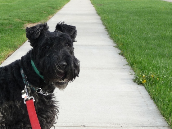 Shamus the Kerry Blue Terrier