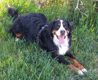 Wrigley - an enthusiastic and friendly Bernese