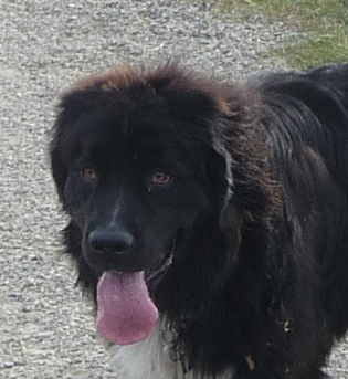 Storm - a beautiful and gentle-natured Newfoundland.