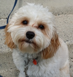 Levi - a lively and bouncy Cavapoo