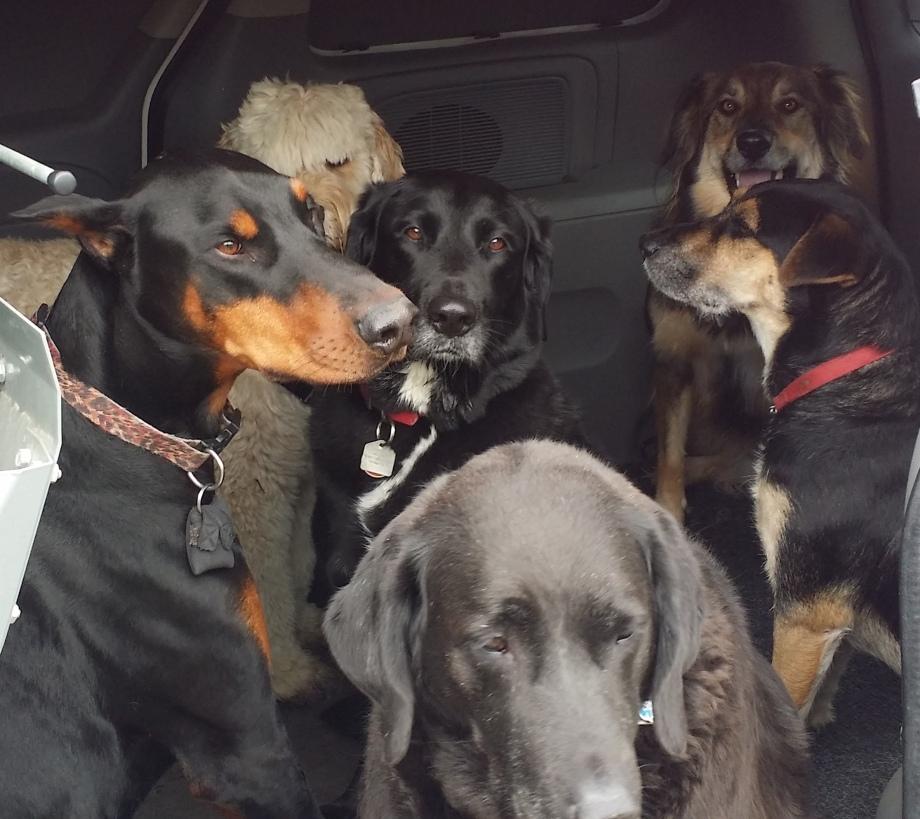 Dogs in van after walk