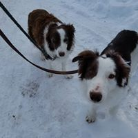 Abby and Haze - two lovely Border Collies