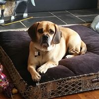 Dexter - a puggle who knows...