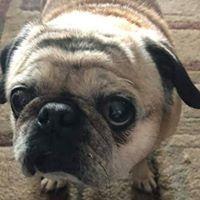 Molly - Pug extraordinaire!