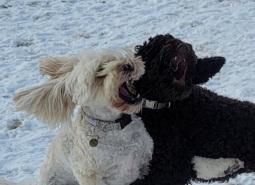 Millie and Mocha...Doodle v Poodle