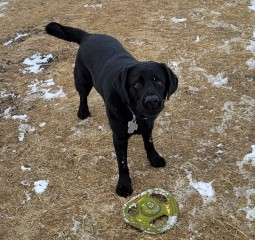 Remmy - a boisterous, handsome and mischievous Lab