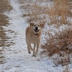 Tucker - handsome, friendly Lab X